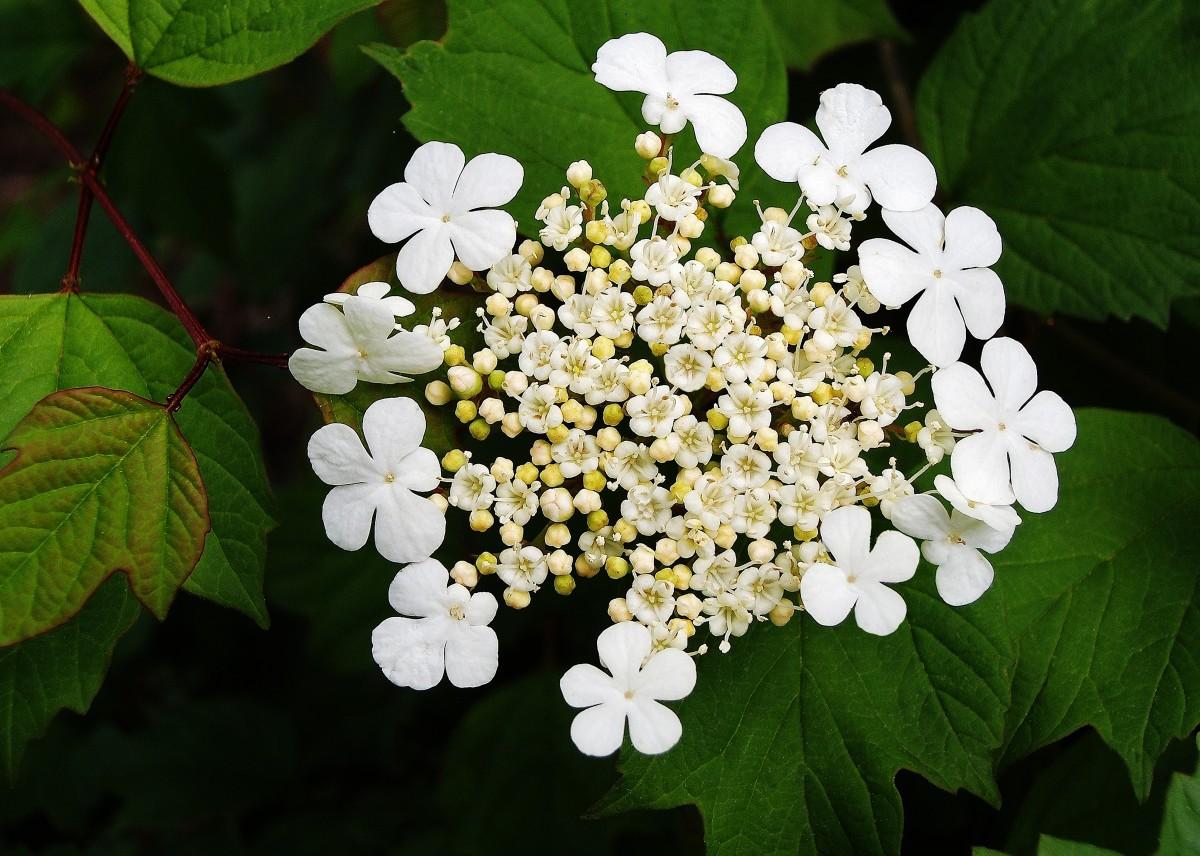 Viburnum 'American Cranberry'  Flower