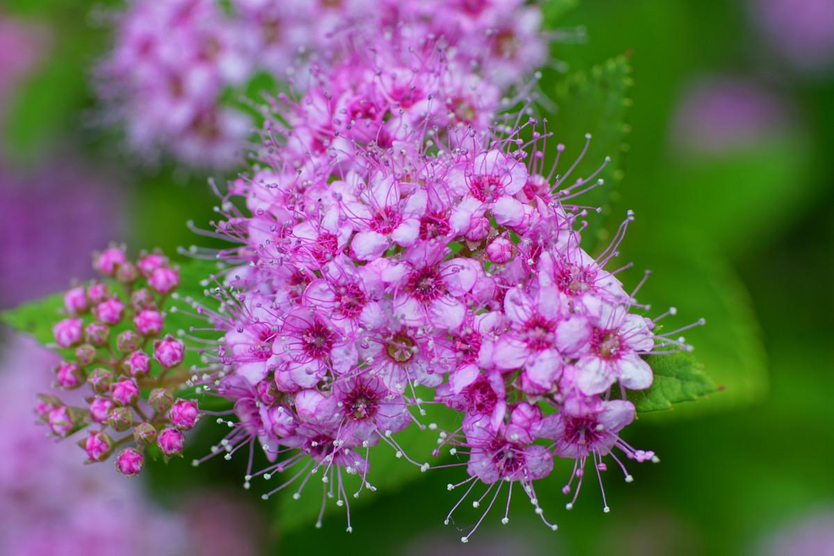 Spirea 'Little Princess' Flowers