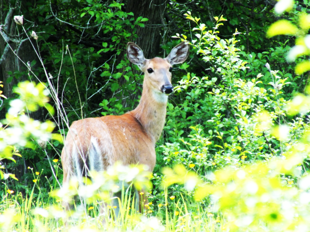 While biking around a park I stopped to take a picture of a white-tailed deer.
