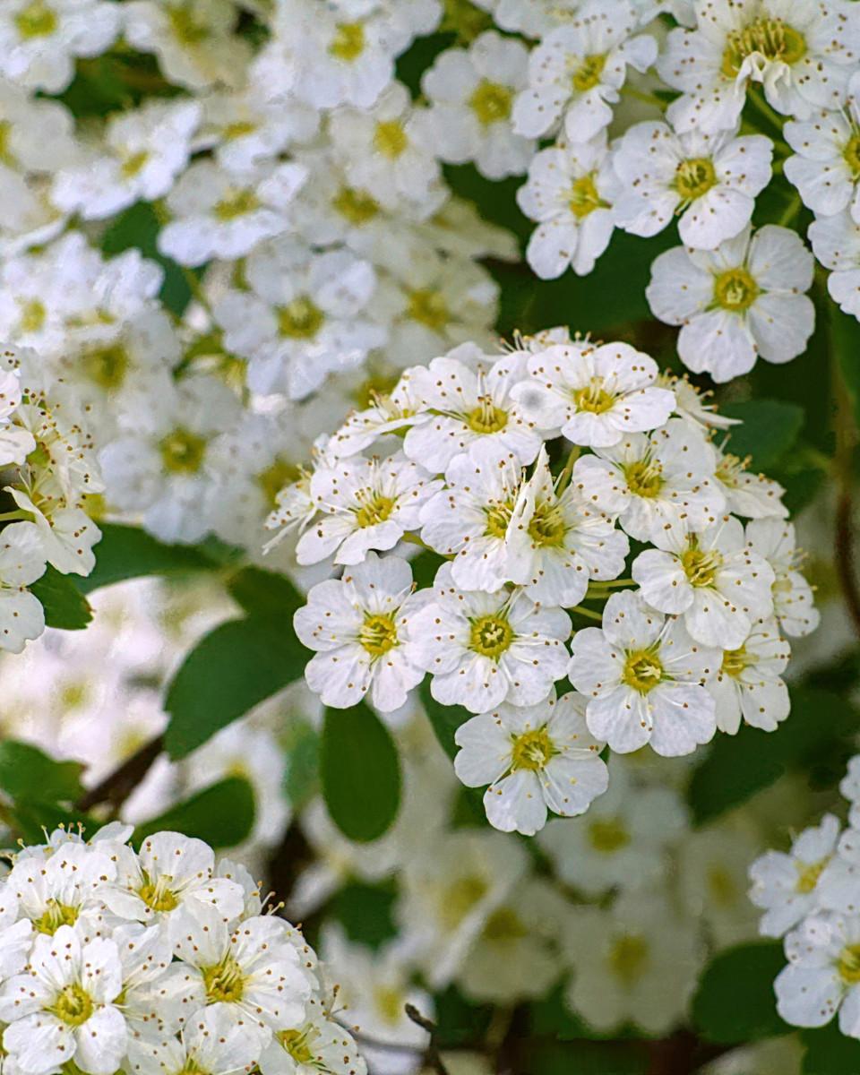 Spirea Flower 'Reeves Bridal'