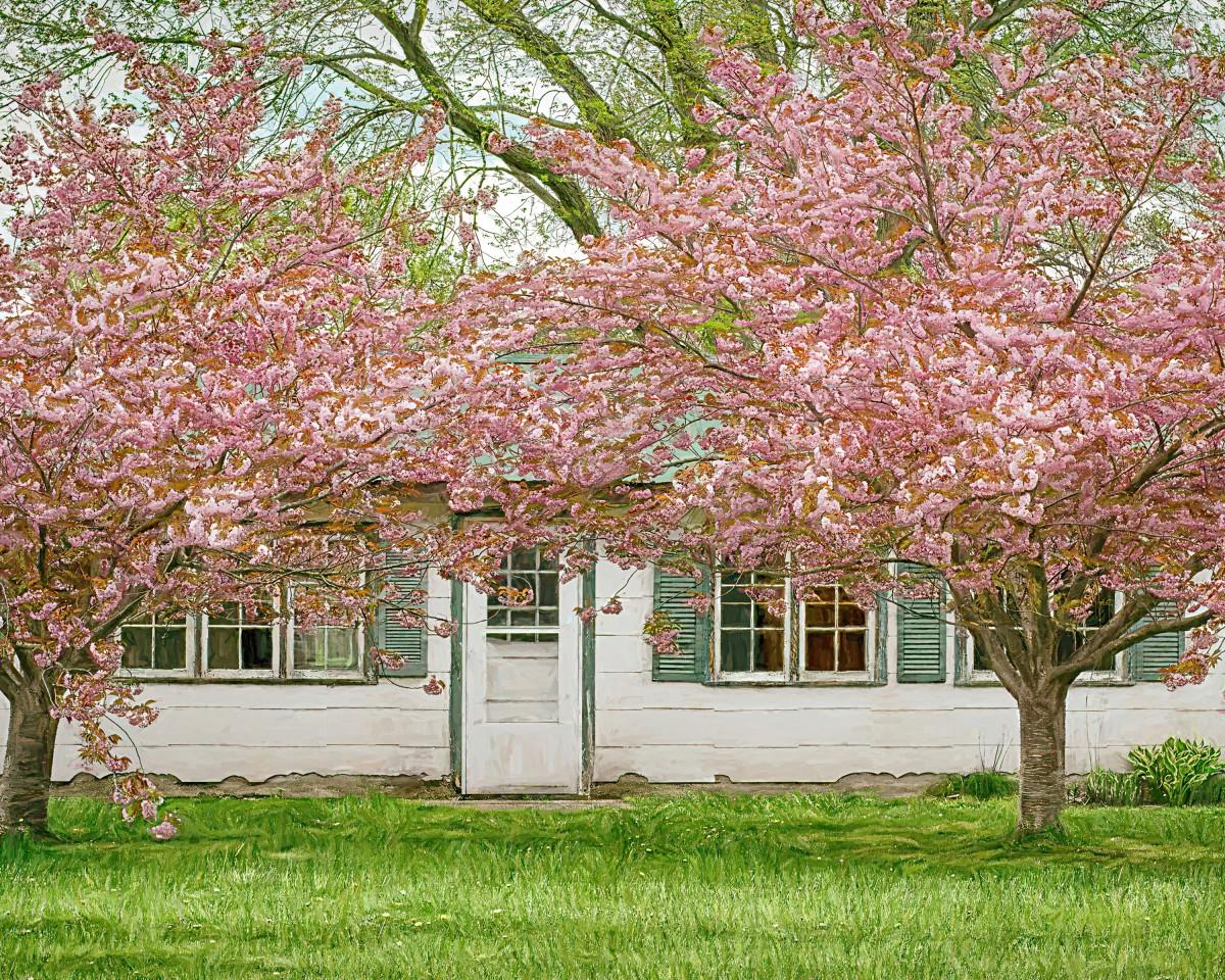 Japanese Kwanzan Cherry Tree