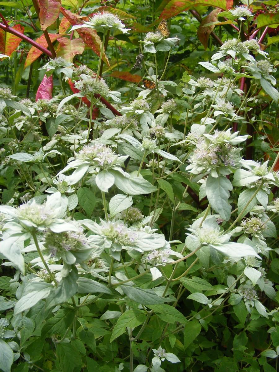 Quick Plant Care Guides Grow Mountain Mint Pycnanthemum
