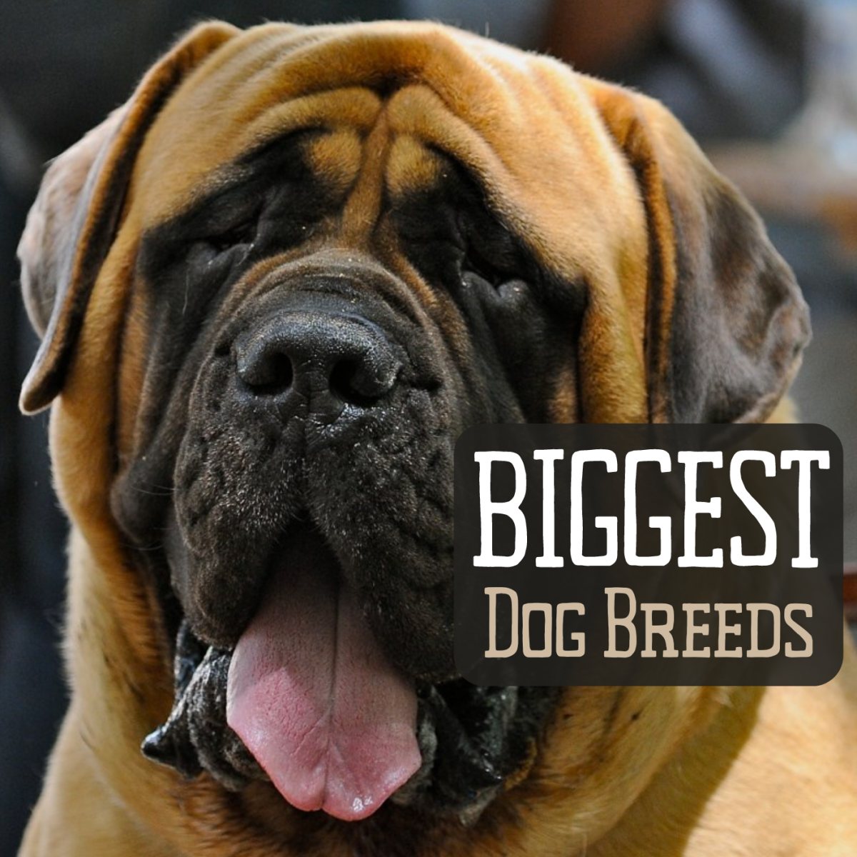 Biggest dog worlds 28 Pictures