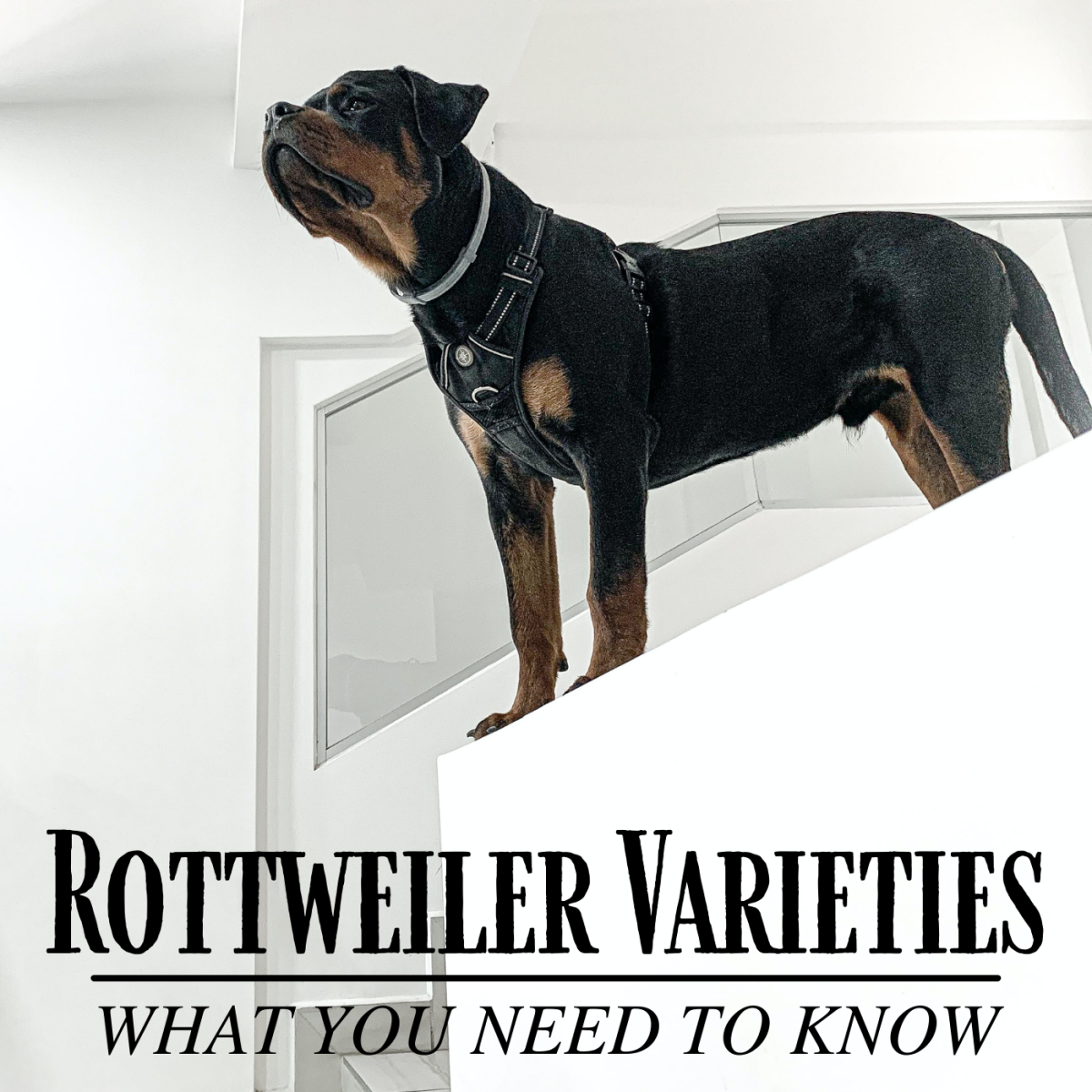 Are the American, German, and Roman Rottweiler varieties a real thing?