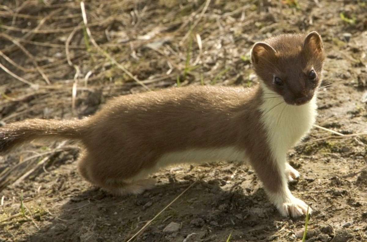 """According to the song, weasels tend to """"pop""""."""