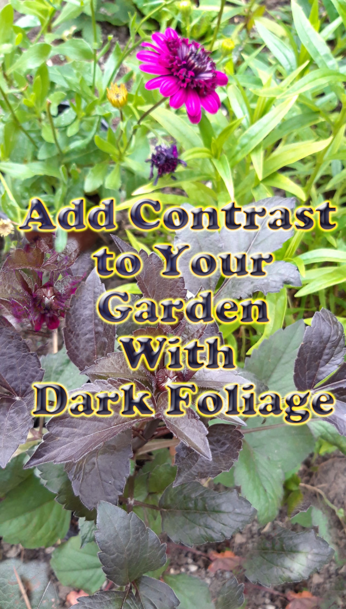 This guide will provide a number of suggestions for how to add contrast to your garden by incorporating plants with dark foliage.