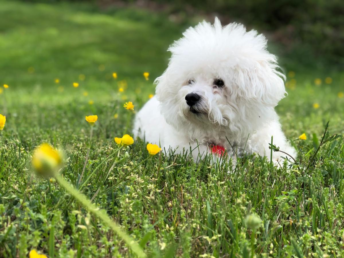 The bichon is a small, happy, social dog that gets along well with playful cats.