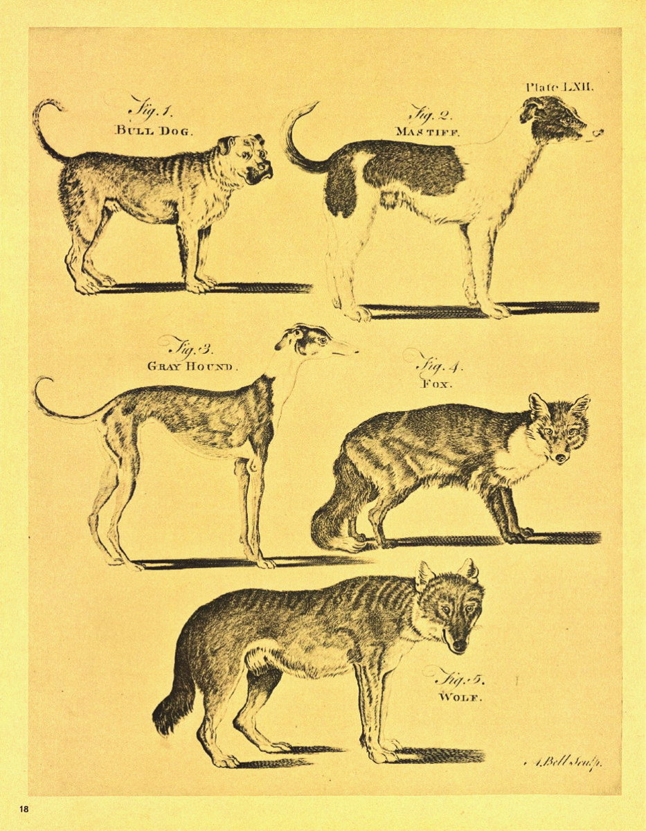 One of the 160 Copperplate Engravings by Andrew Bell in the First Edition of Britannica, showing a Bull Dog, a Mastiff, a Gray Hound, a Fox and finally a Wolf.