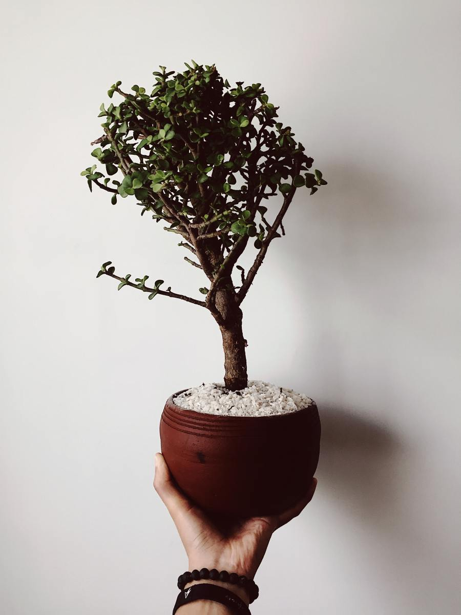 This article will help you care for your bonsai tree like a pro.