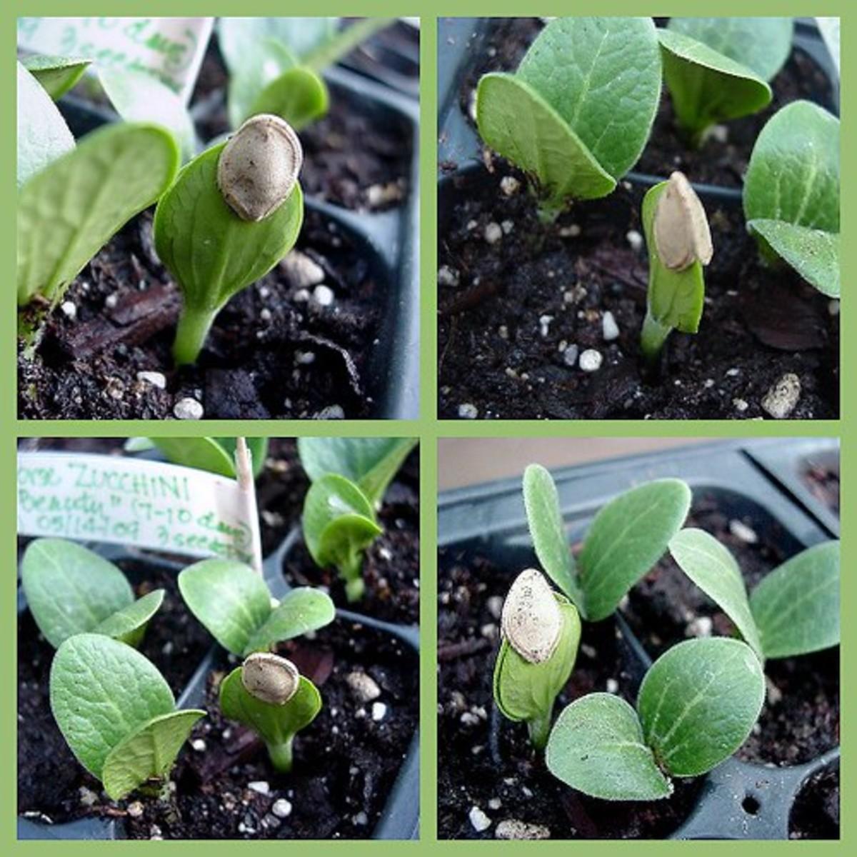 Zucchini seedlings budding.