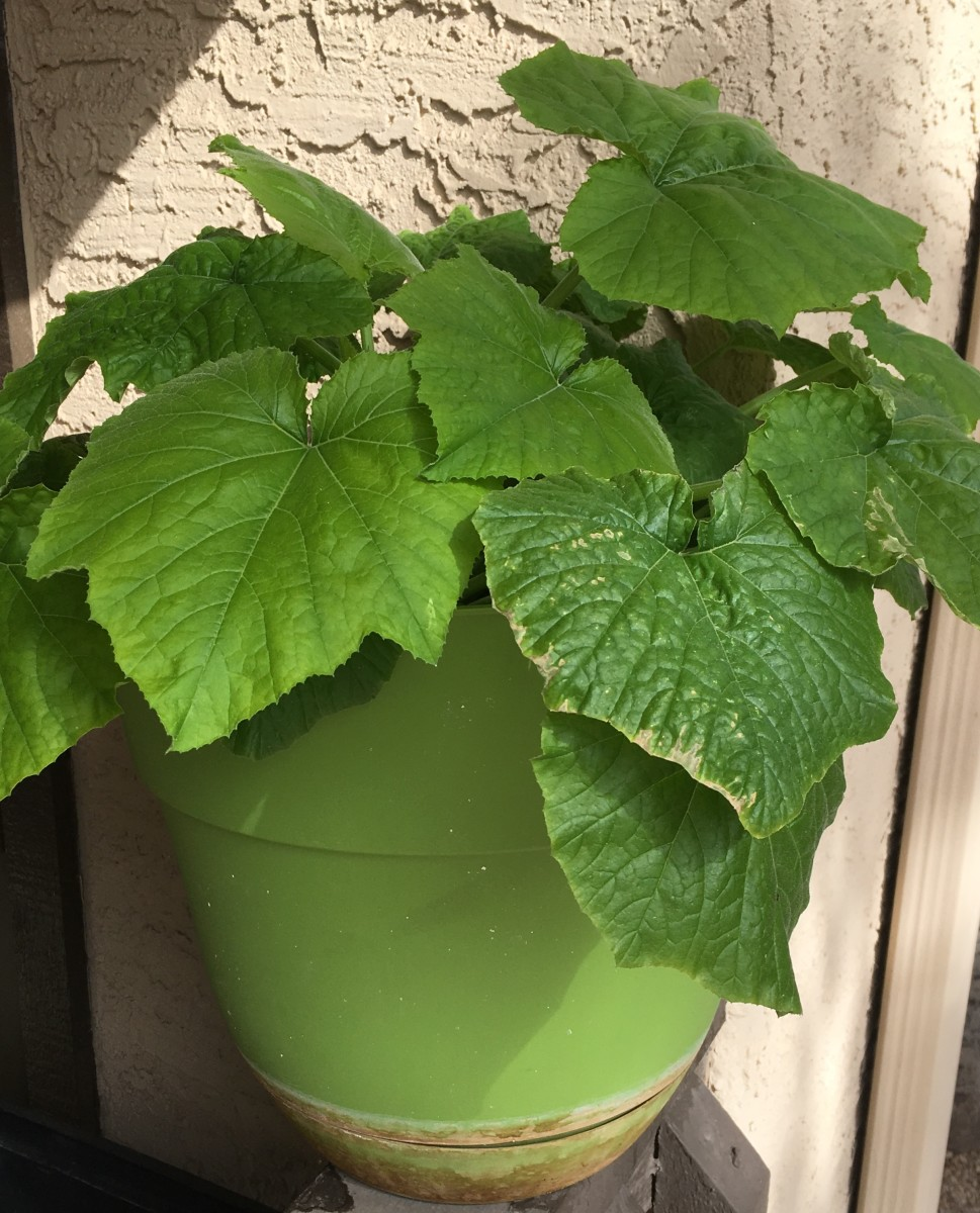 You can grow zucchini in any type of pot on your balcony.