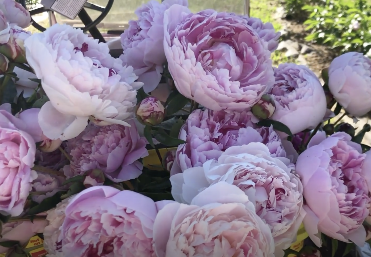 Learn how to grow your own gorgeous peonies!