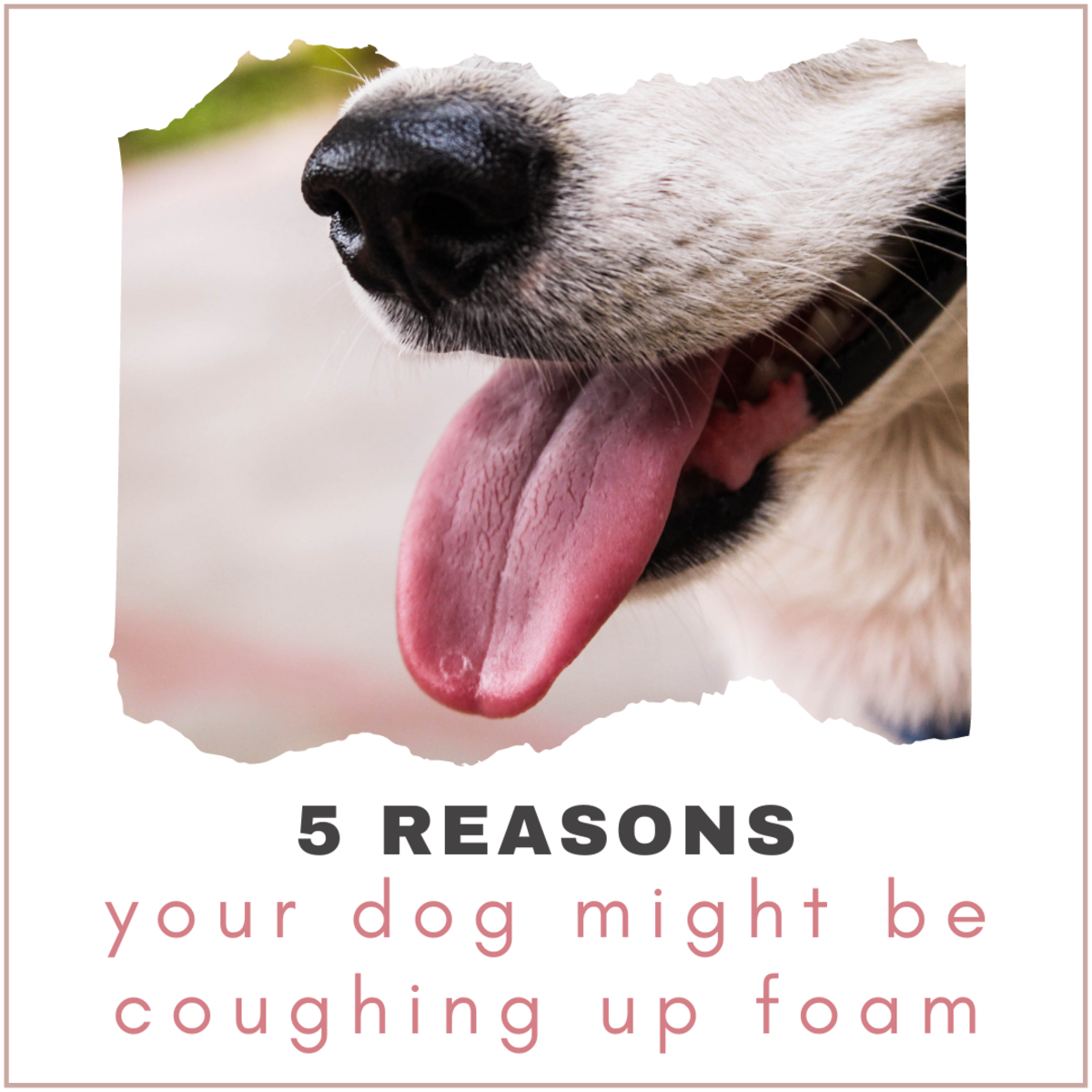 If your dog is coughing up foam, it may be an indication of a serious condition.