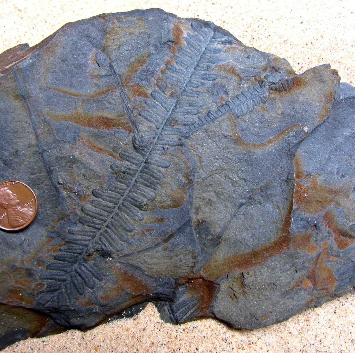 PECOPTERIS TRACE FOSSIL LEAVES OF ANCIENT PSARONIUS FERN TREE