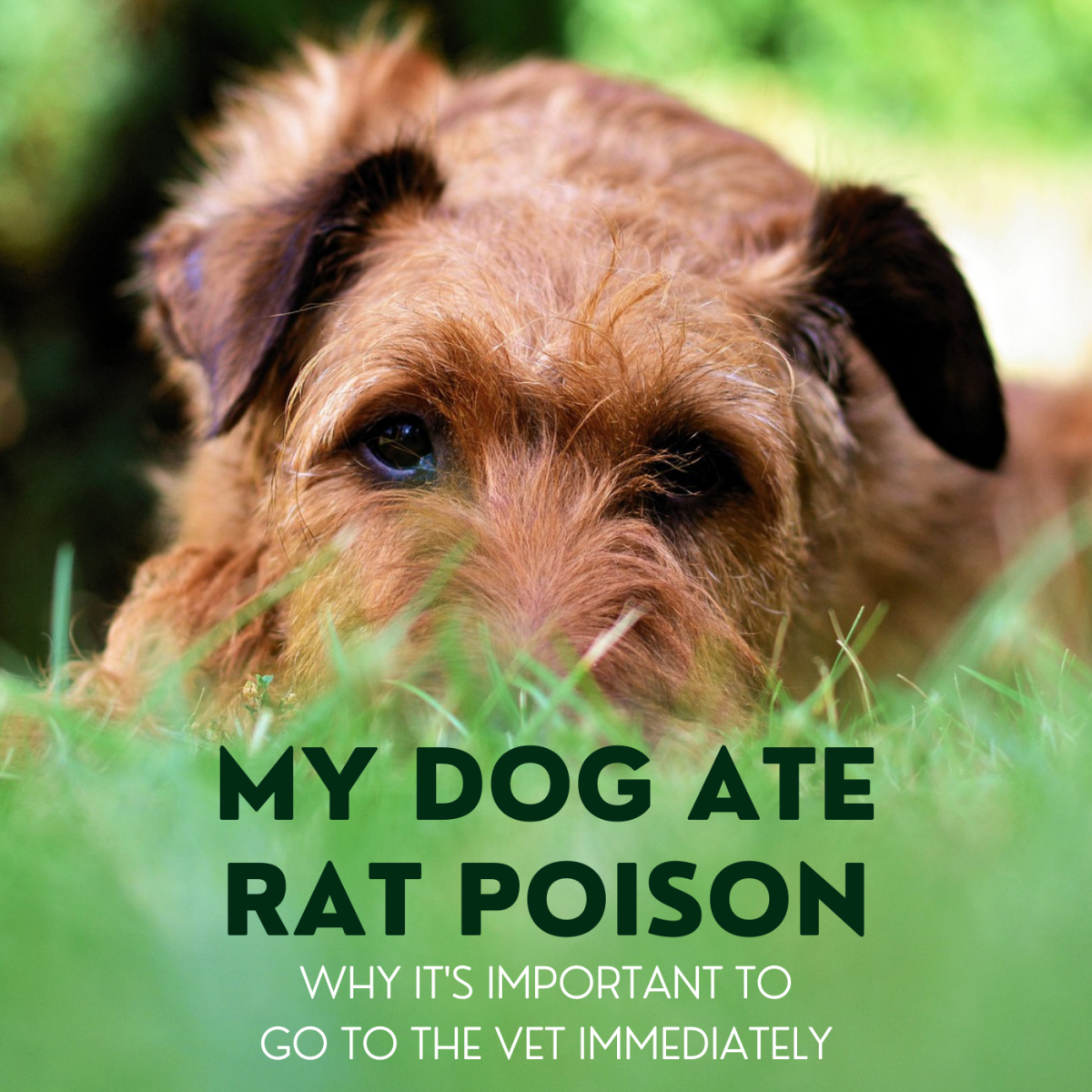 If your dog ingested rat poison, go to the vet as soon as possible. This article offers information on the types of rat poison, the symptoms of poisoning, and how your vet might treat it.