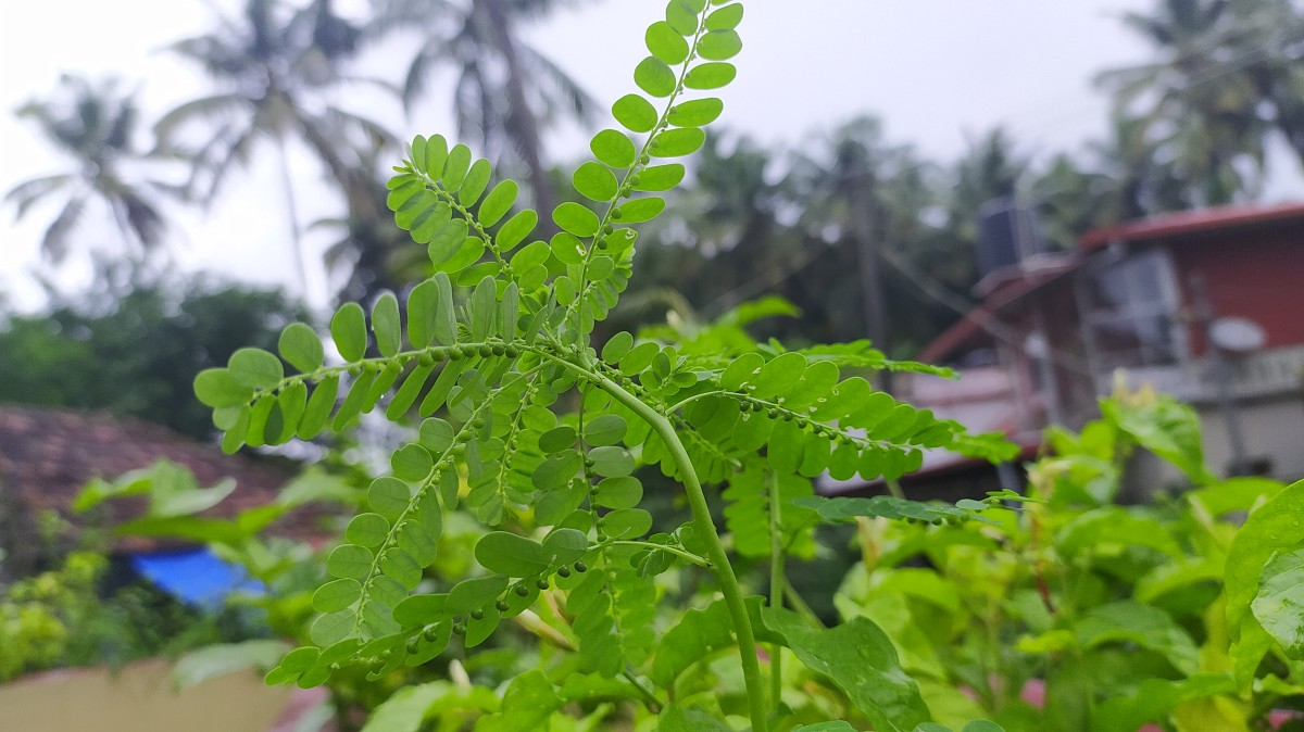 Phylllanthus Niruri