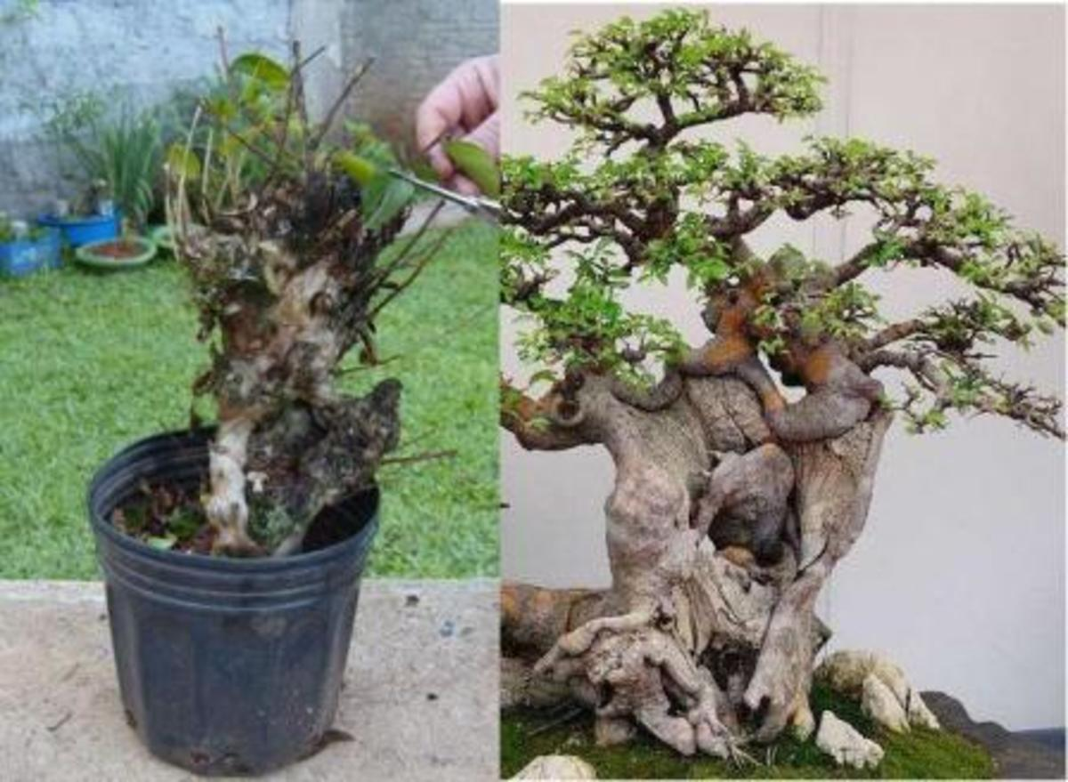 If you're a bonsai enthusiast, air layering is a great way to get a new plant going.