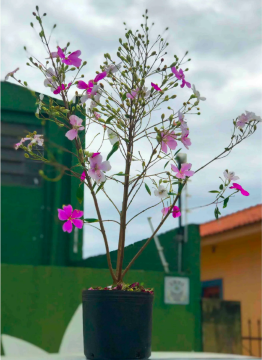 Once the roots are fully formed, saw off the new plant from the mother plant and transfer it to a vase filled with a proper substrate for your plant.