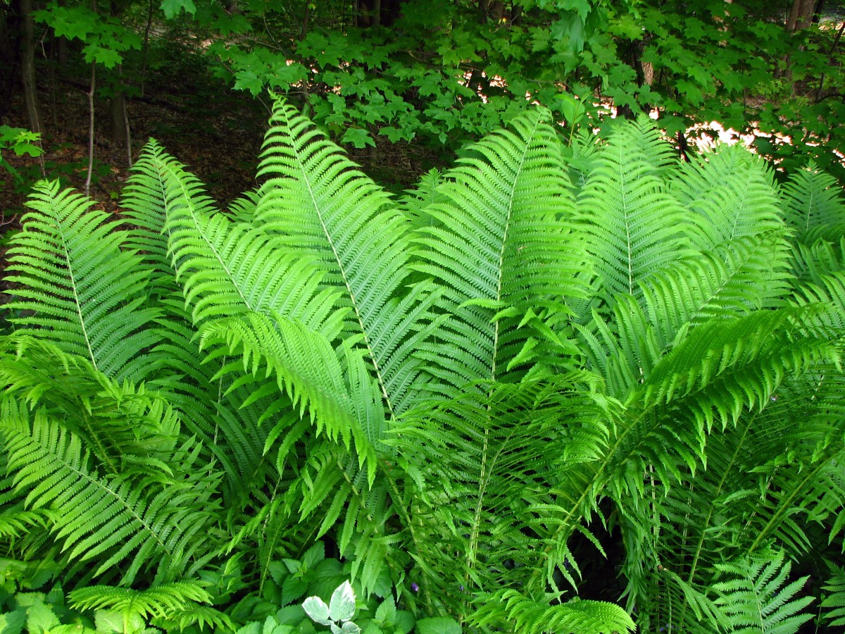 Cinnamon Stick Fern