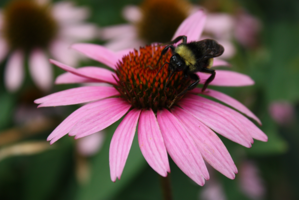 Bee on Purple Cone Flower