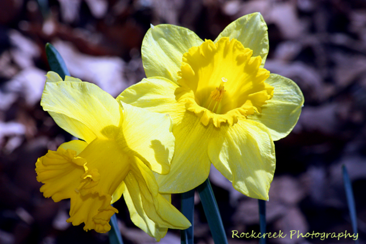 Daffodils are my favorite early spring flower.