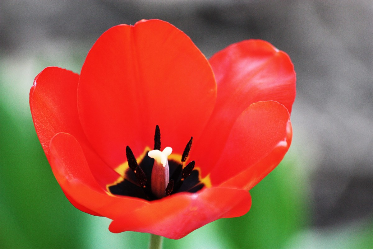 """Bright red tulips just seem to shout out,""""Look at me!""""."""