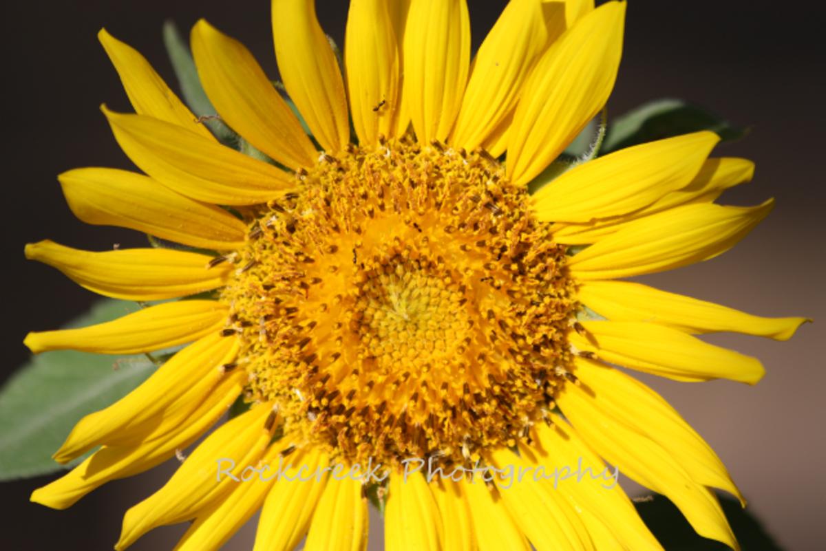 Sunflowers just make me happy!