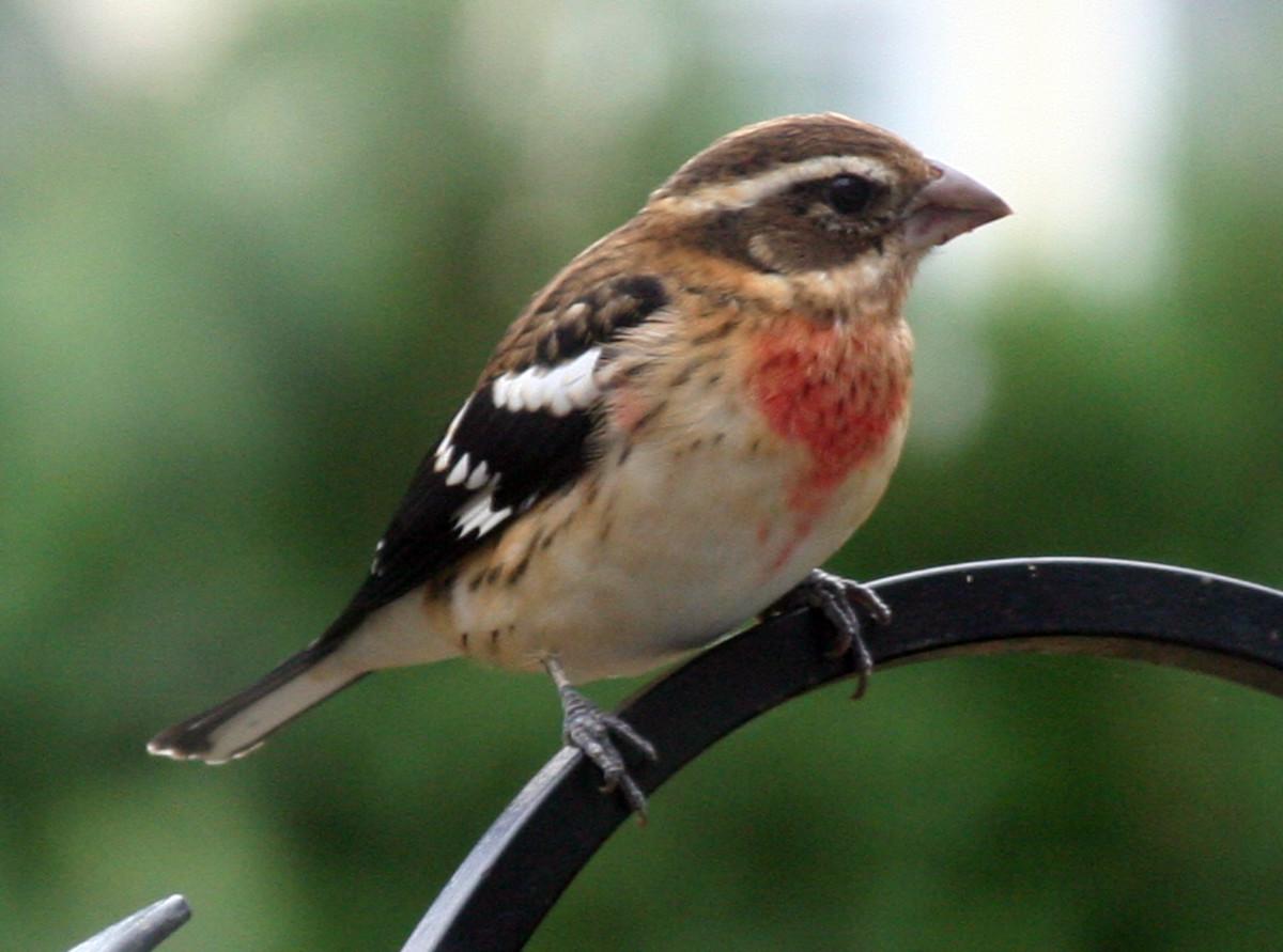 Non-breeding male. Photo: M. Crosby