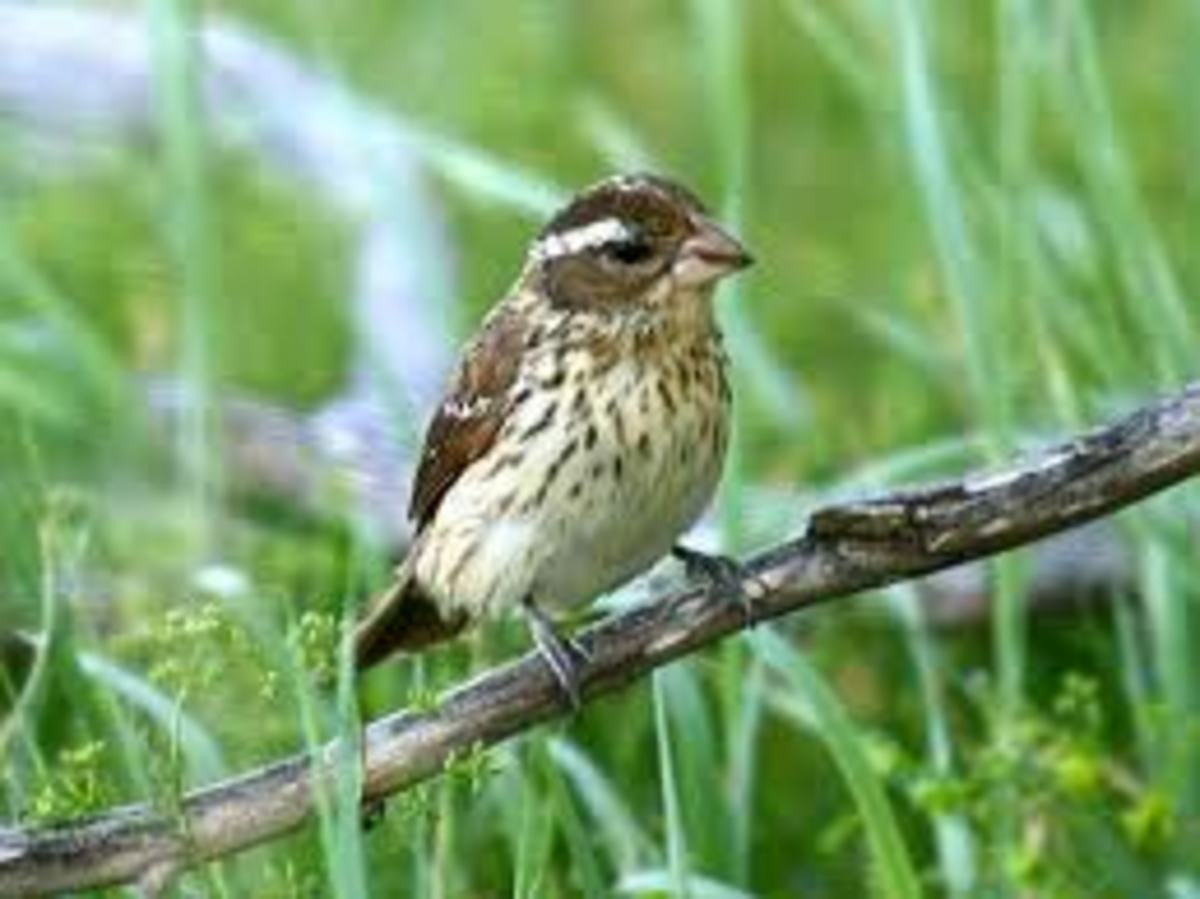 Female Grosbeak. Source: thebirdguide.com