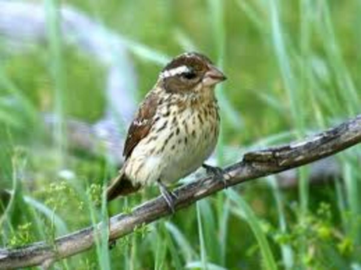 Female Grosbeak. Source: thebirdguide.com