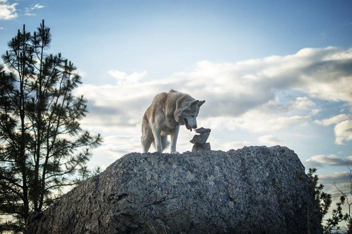 Husky Sniffing Rock Formation