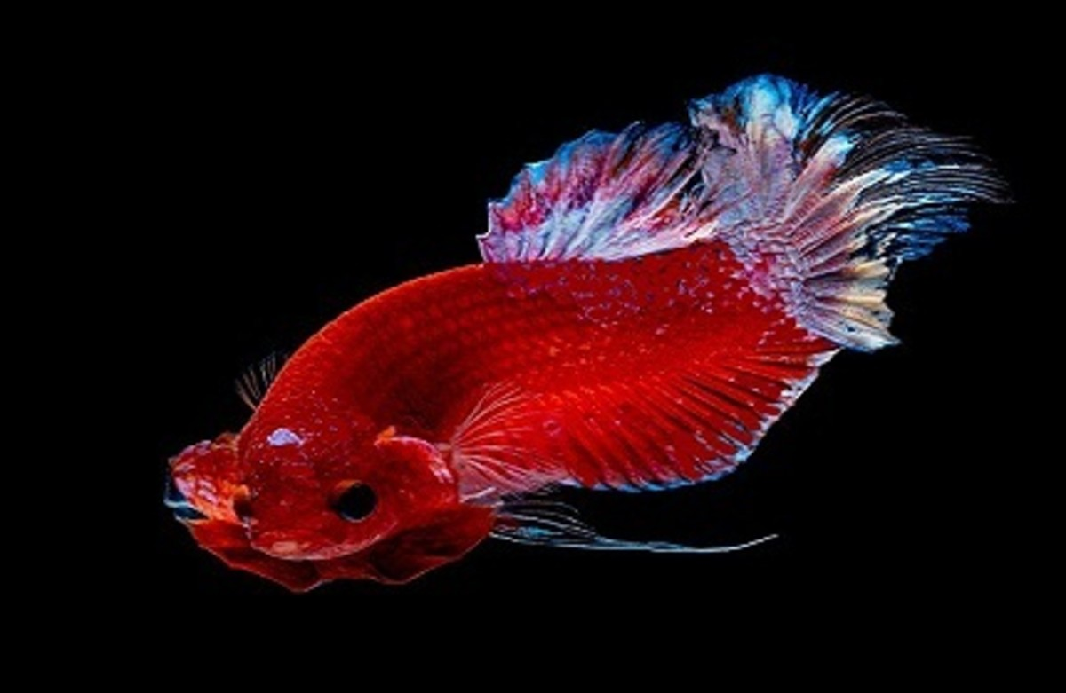 Betta With Hole in the Head