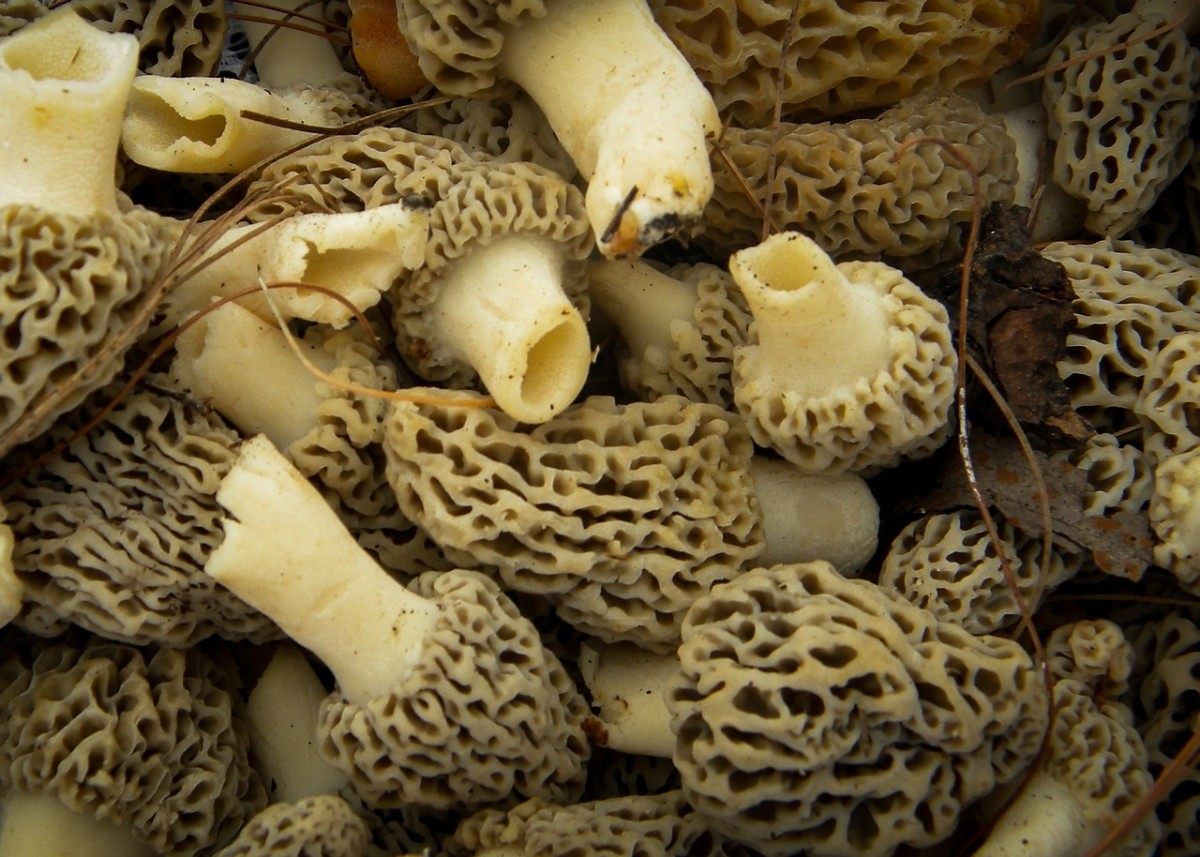 Morel Mushrooms - All You Ever Wanted to Know About Morel Mushrooms!