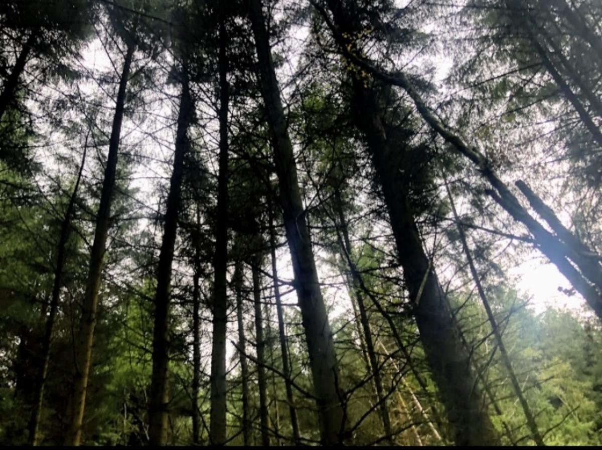 Gigantic conifers surrounding us.