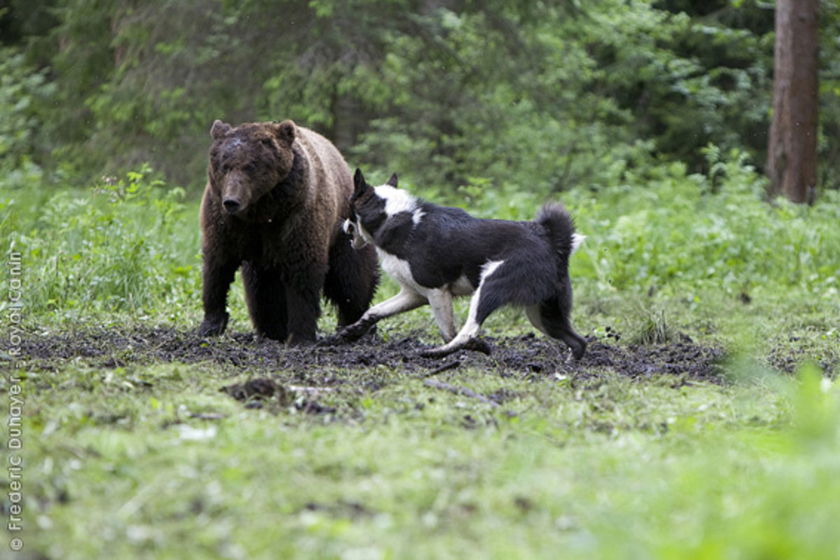 East Siberian Laika harassing a grizzly.