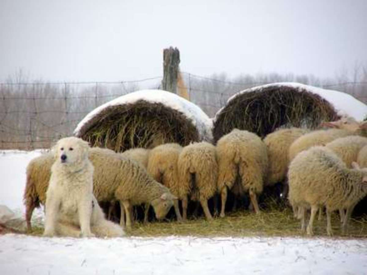 A livestock guardian dog on duty like this Kuvasz can be very protective of its charges and will attack an intruder.