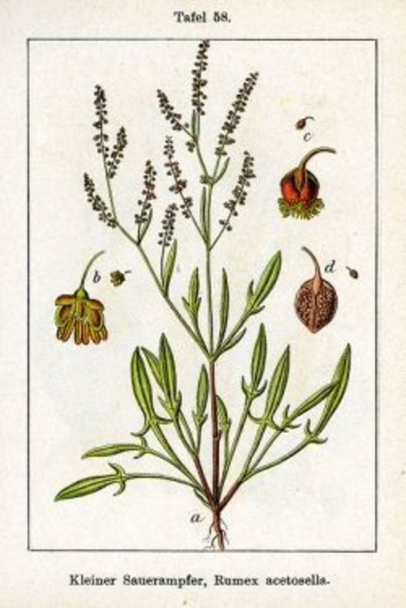 Sheep Sorrel Herb - Edible Weed With Healing Benefits