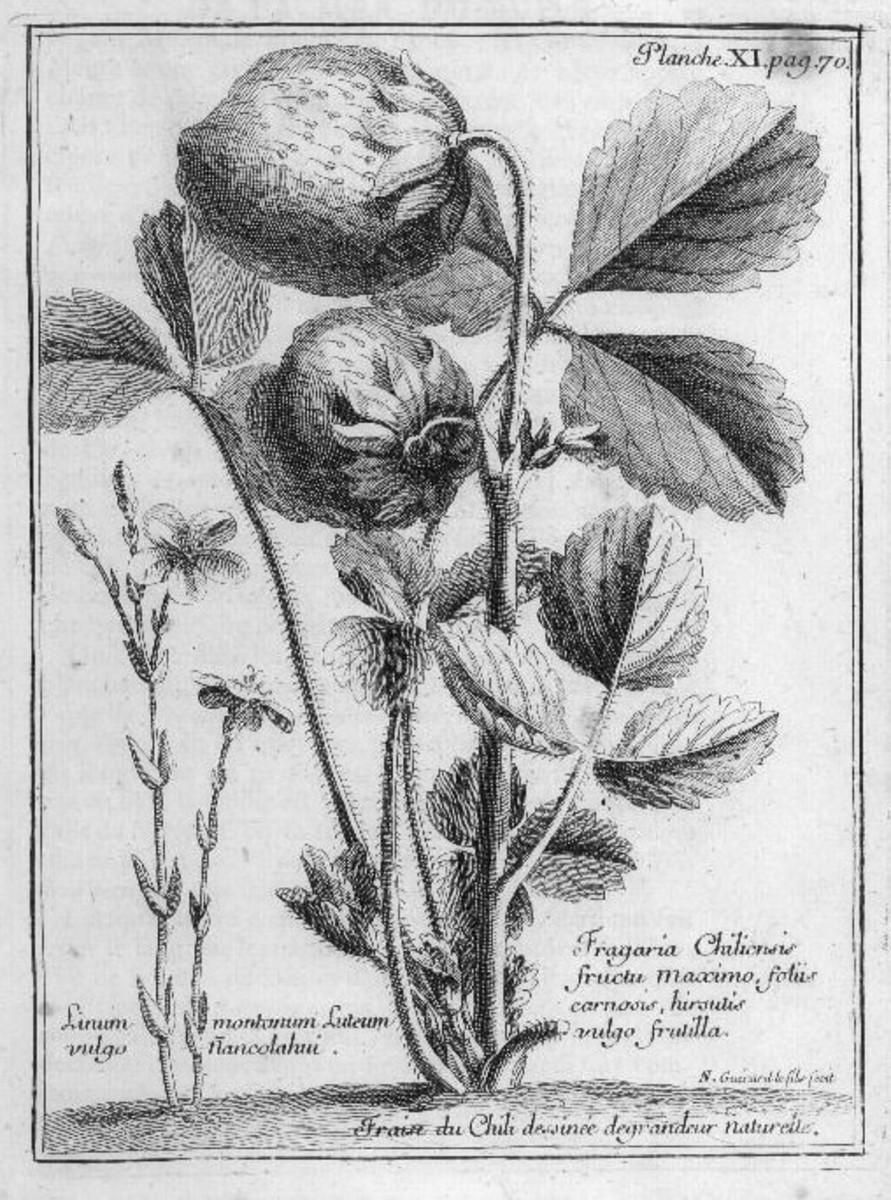Fragaria chiloensis, illustrated in Frézier's 1717 text Relation du voyage de la mer du Sud aux côtes du Chili et du Pérou fait pendant les années 1712, 1713, et 1714