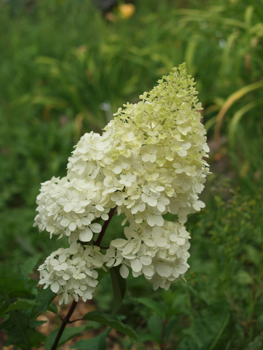Panicle hydrangea flowers do not change based on soil acidity, but rather due to seasonal changes in temperature.