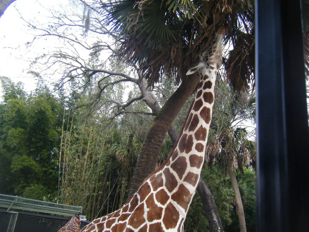 It is hard to grasp how tall giraffes are until you are right next to them.
