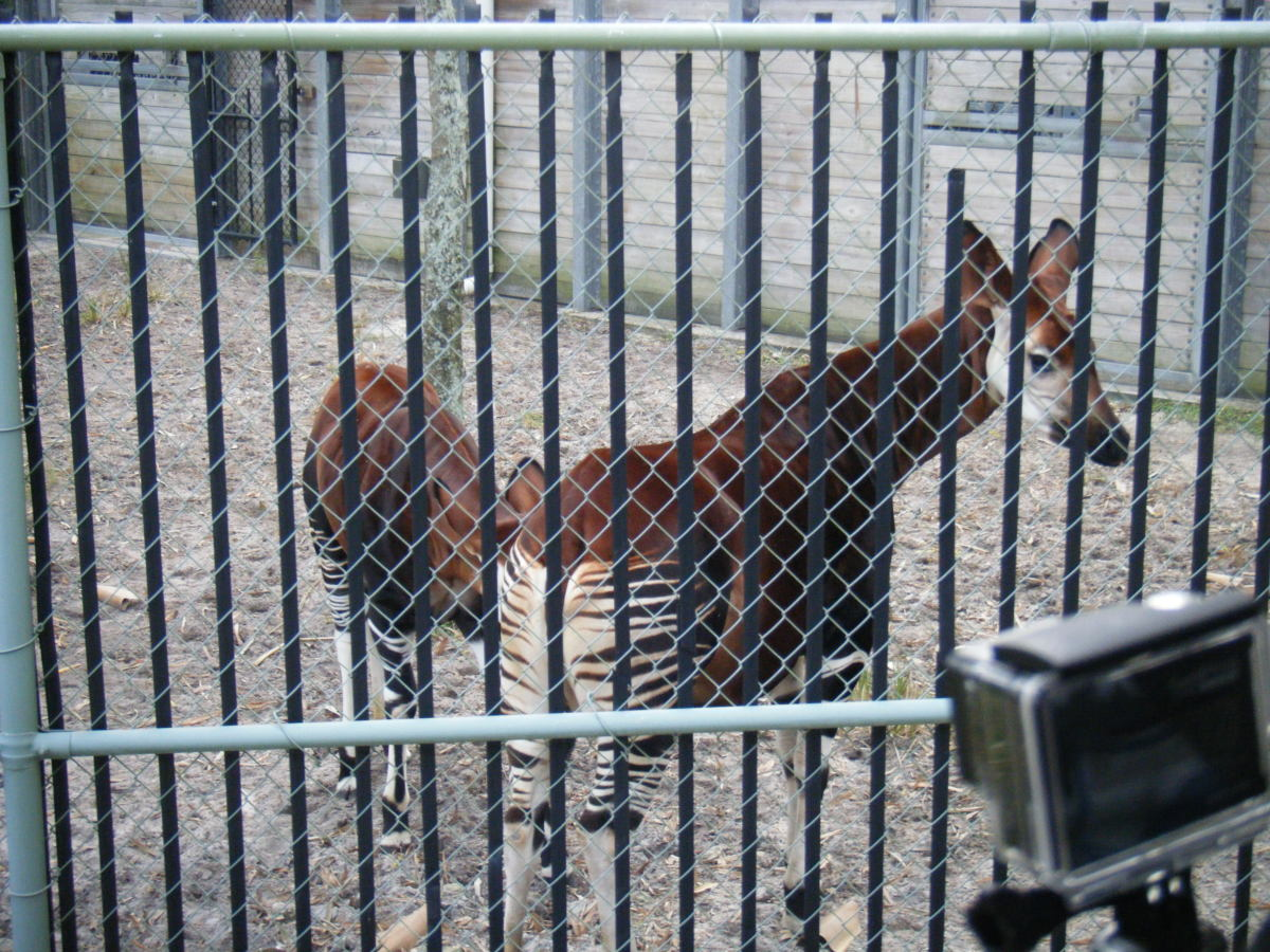 Walt Disney World Beyond the Parks: Wanyama Safari