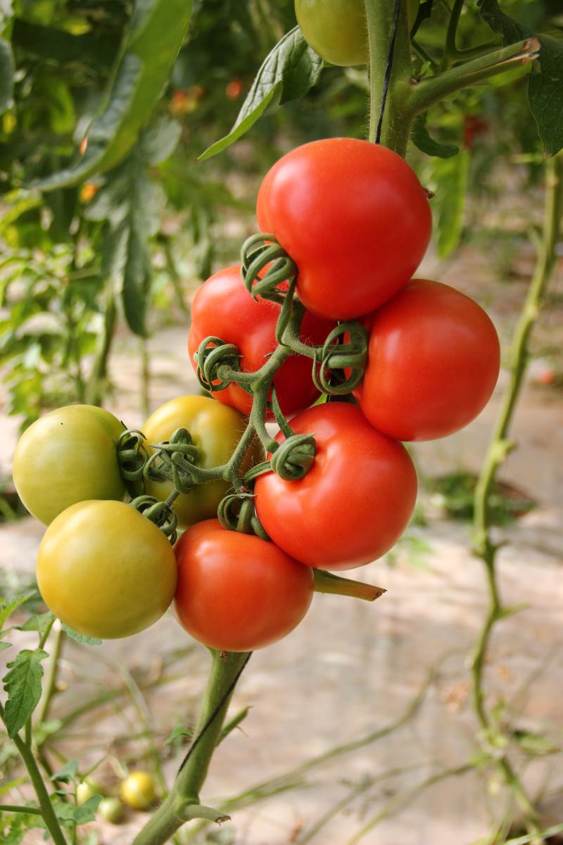 Taking the time to learn how to grow beautiful, juicy tomatoes is worth it.