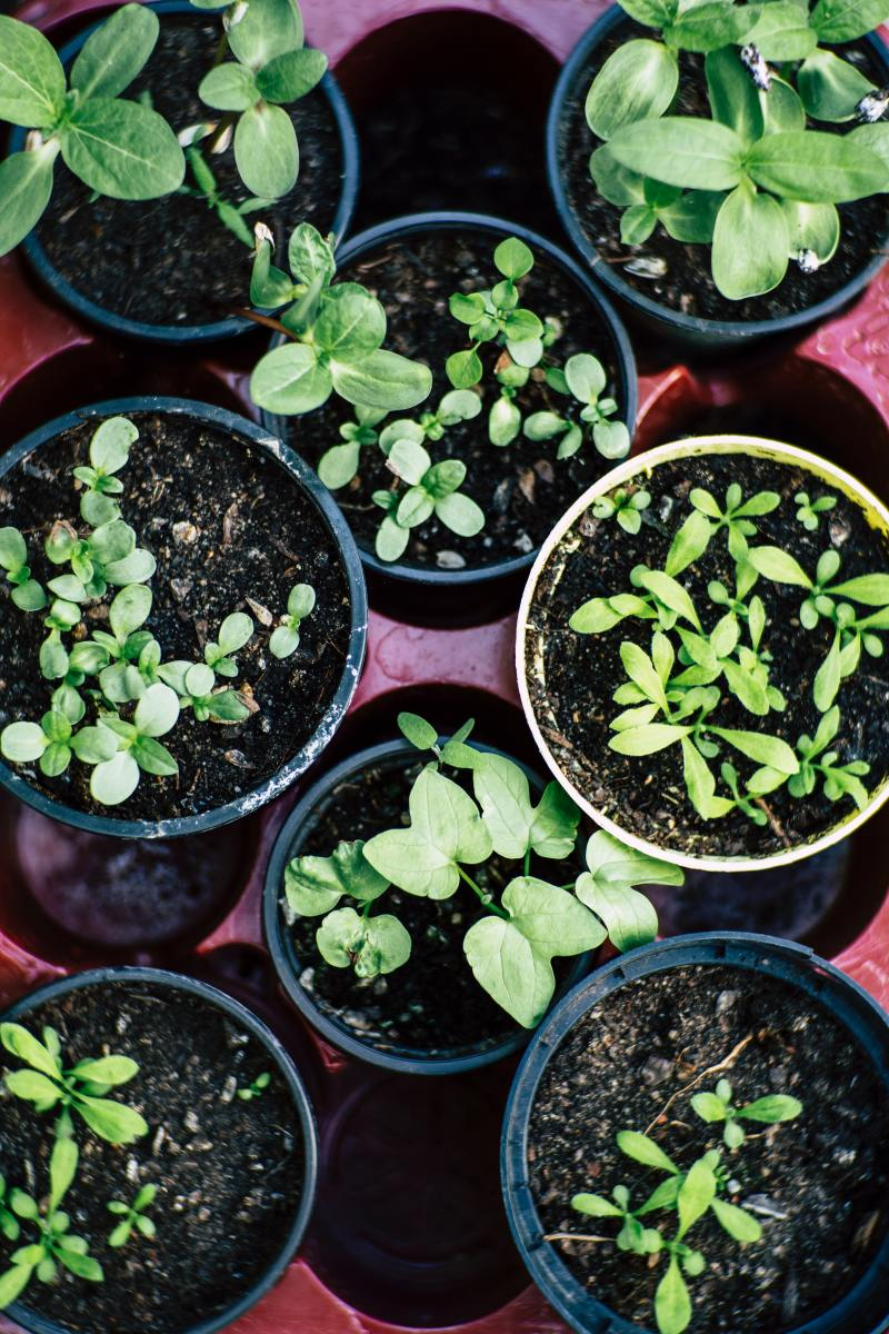 Do tomato plants need full sun? Read on to learn the answer to this important question.