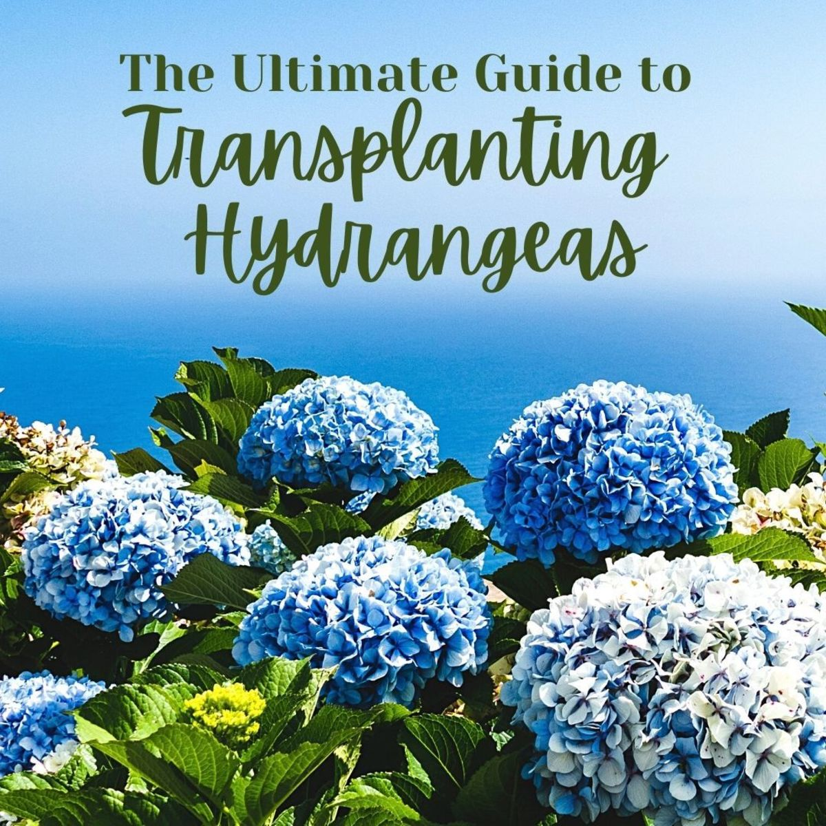 How and why you should transplant hydrangeas