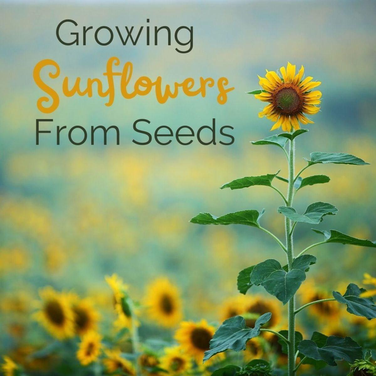 How to grow sunflowers and protect your crop