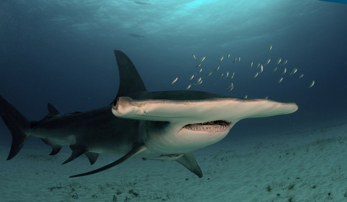 Sadly, the shark pictured here, the Great Hammerhead is an endangered species, on account of its commercial value to humans.