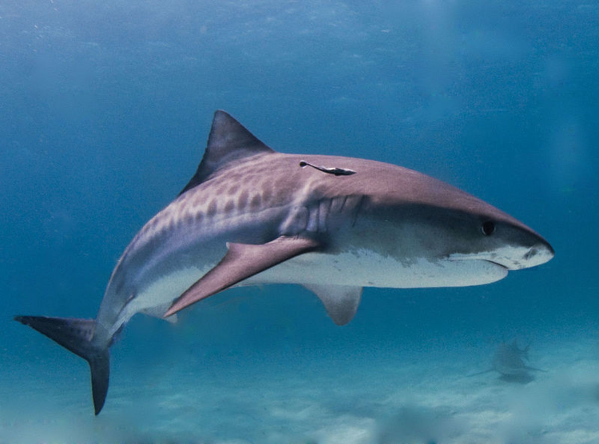 Tiger Shark litters can range from anywhere from 10 up to 80 pups.