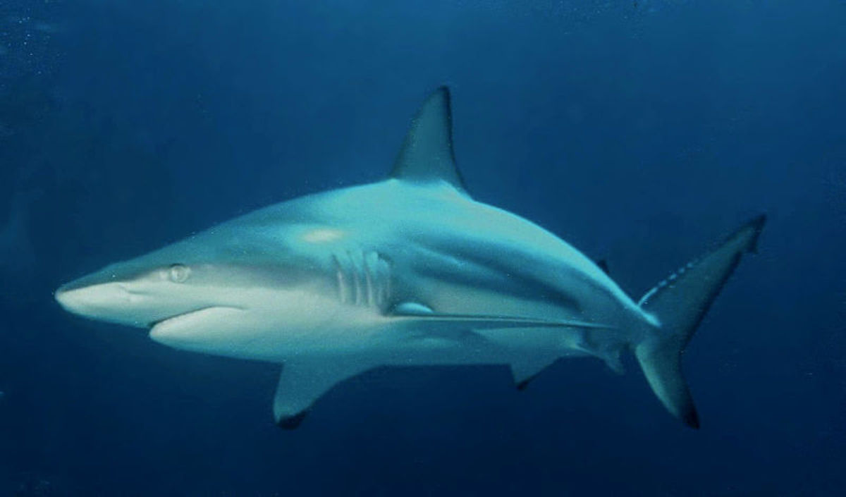 Blacktip Sharks typically have a lifespan of around 12 years.