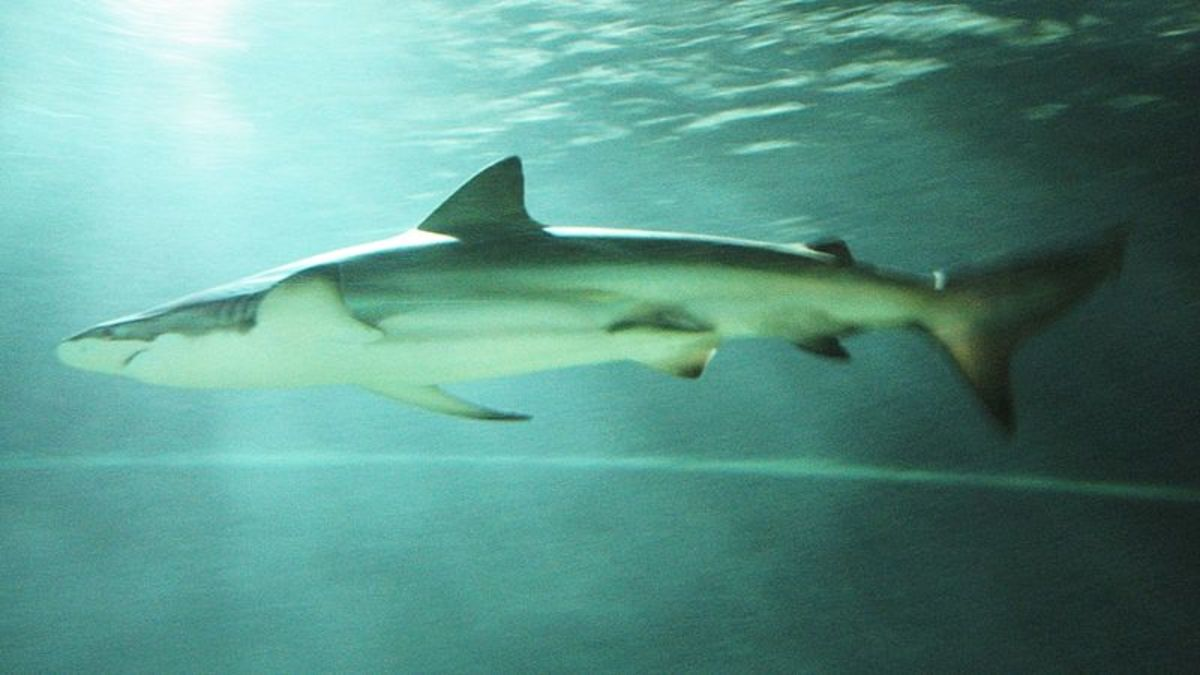 The Bronze Whaler is commonly known as the Copper Shark, and sometimes is referred to as the Narrowtooth Shark.