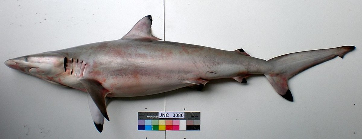The Spinner Shark is a gregarious species, often forming large schools, segregated by age and sex.